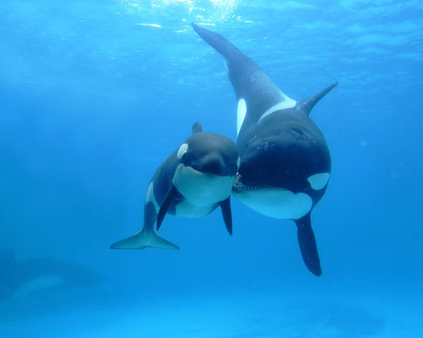 Mp Poster featuring the photograph Orca Orcinus Orca Mother And Newborn by Hiroya Minakuchi