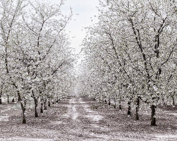 Apple Orchard Poster featuring the photograph Orchard Lane by Kathi Mirto