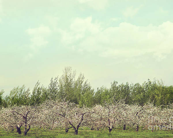 Apple Poster featuring the photograph Orchard Of Apple Blossoming Tees by Sandra Cunningham