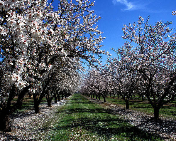 Trees Poster featuring the photograph Orchard Trees Blossoming by Kathy Yates