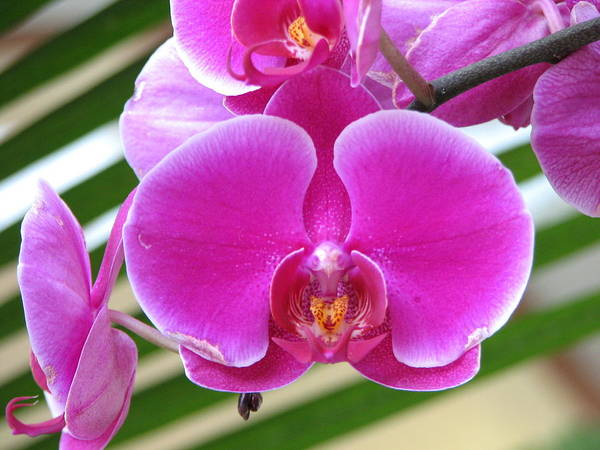 Orchid Poster featuring the photograph Orchid 8 by David Dunham