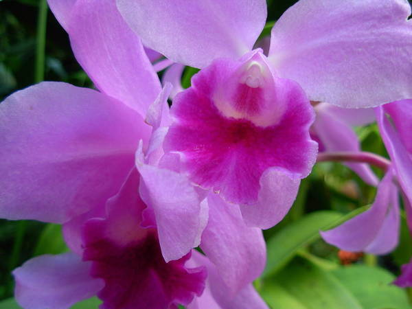Orchids Poster featuring the photograph Orchid Deep by Amanda Vouglas