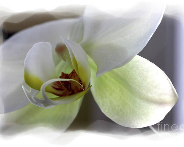 White Orchid Poster featuring the photograph Orchid for Valentines Day by David Bearden