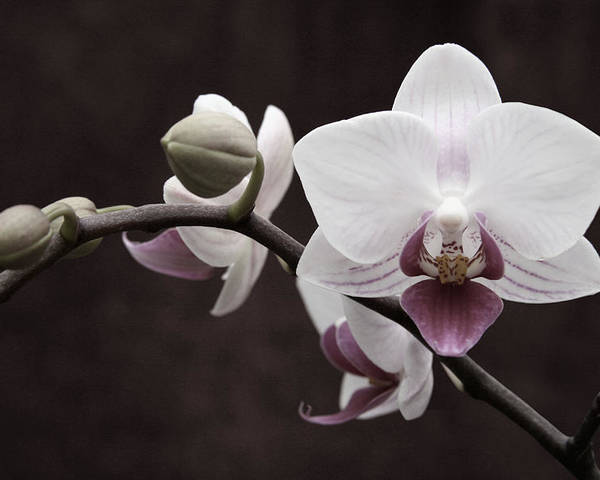 Orchid Poster featuring the photograph Orchid by Sally Engdahl