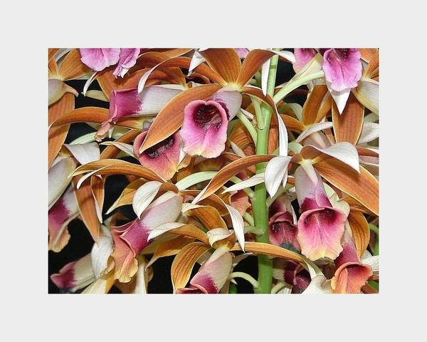 The Orchids Mass Together In The Tones Of Pink And Carmel. It's A Richly Detailed Photo Of One Of The Most Beautiful Of Tropical Flowers. Poster featuring the photograph Orchids In Bloom by Mindy Newman