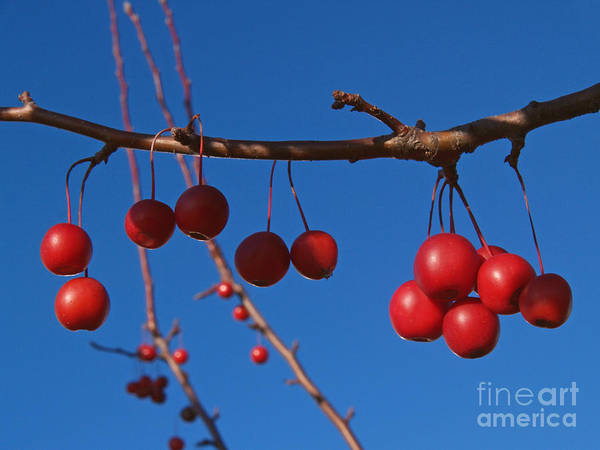 Autumn Poster featuring the photograph Ornamental Crabapple Branch by Anna Lisa Yoder