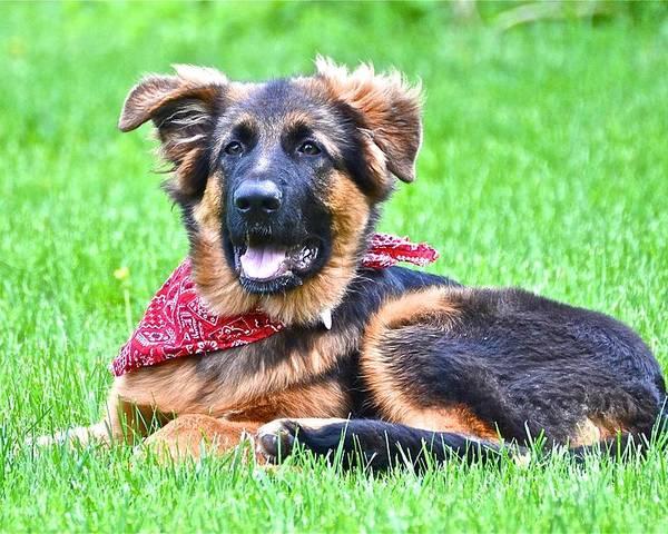 German Shepherd Dog Poster featuring the photograph Oskar With Bandana by Danielle Sigmon