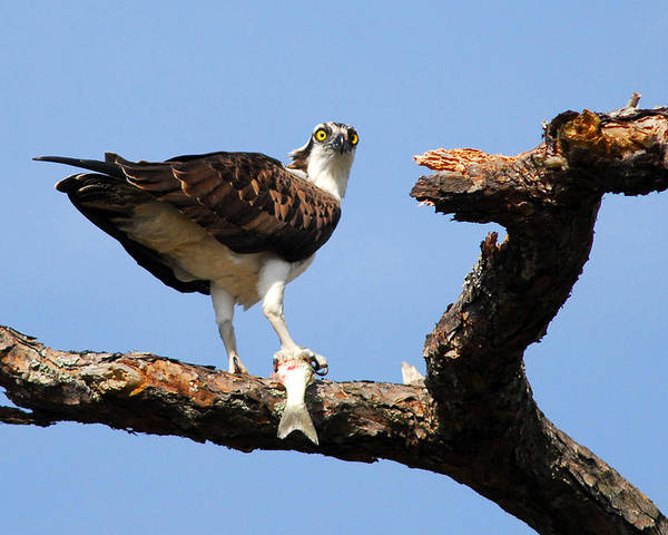 Bird Poster featuring the photograph Osprey With Fish by Alan Lenk