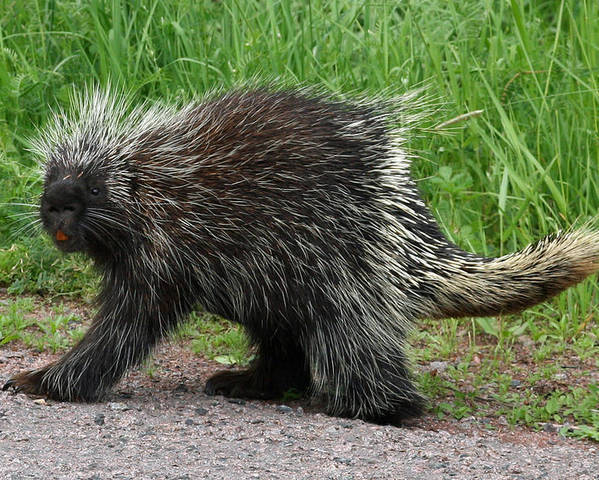 Porcupine Poster featuring the photograph Out For A Walk by David Barker