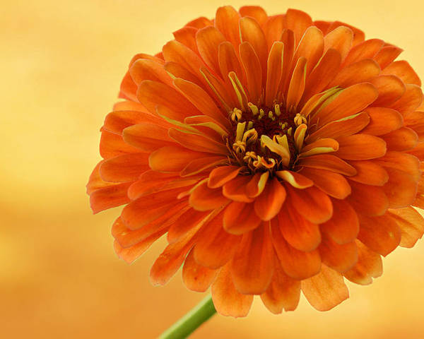 Flower Poster featuring the photograph Outrageous Orange by Sandy Keeton