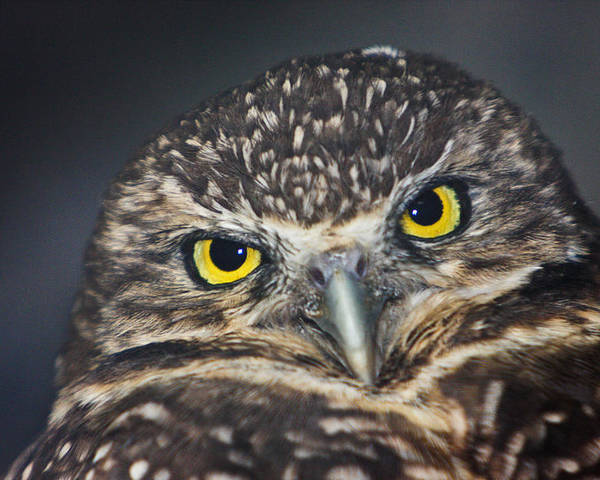 Owl Poster featuring the photograph Owl Face To Face by Douglas Barnett