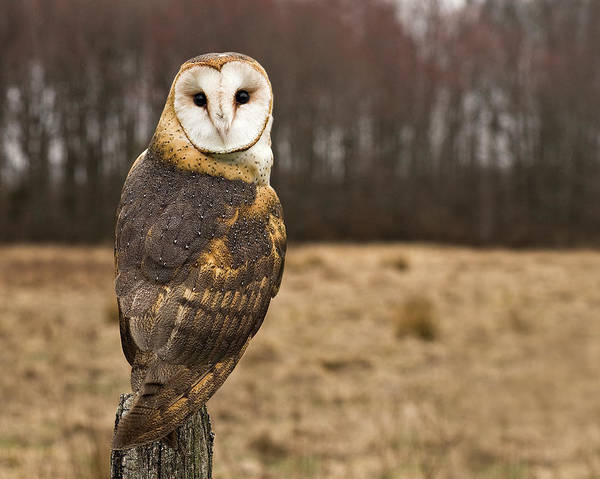 Horizontal Poster featuring the photograph Owl Looking At Camera by Jody Trappe Photography