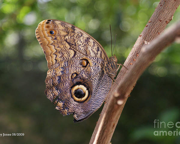 Butterfly Poster featuring the photograph Owls don't always have feathers by Shelley Jones