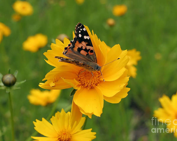 Painted Poster featuring the photograph Painted Lady Butterfly by Jeannie Burleson