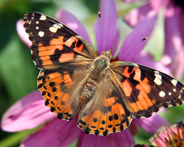 Painted Lady Poster featuring the photograph Painted Lady Butterfly by Margie Wildblood