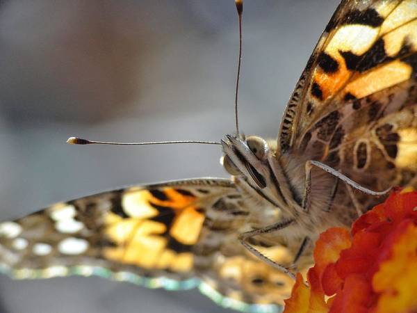 Butterfly Poster featuring the photograph Painted Lady by Erin Redding