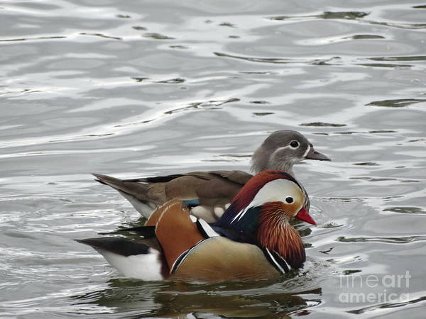 Wood-ducks Poster featuring the photograph Paired Wood-ducks by Shontell Cupler