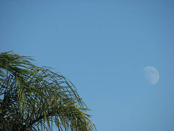 Palm Poster featuring the photograph Palm And Moon by Kathy Roncarati