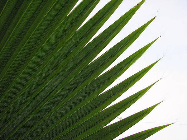 Palm Poster featuring the photograph Palm by Kathy Roncarati