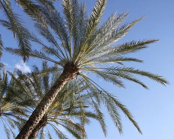 Palm Trees Poster featuring the photograph Palm Trees 2 by Rebecca Pavelka