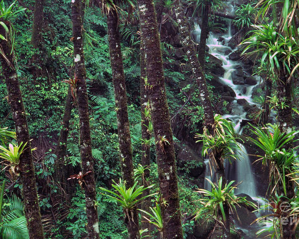 Puerto Rico Poster featuring the photograph Palm Trunks And Waterfall El Yunque by Thomas R Fletcher