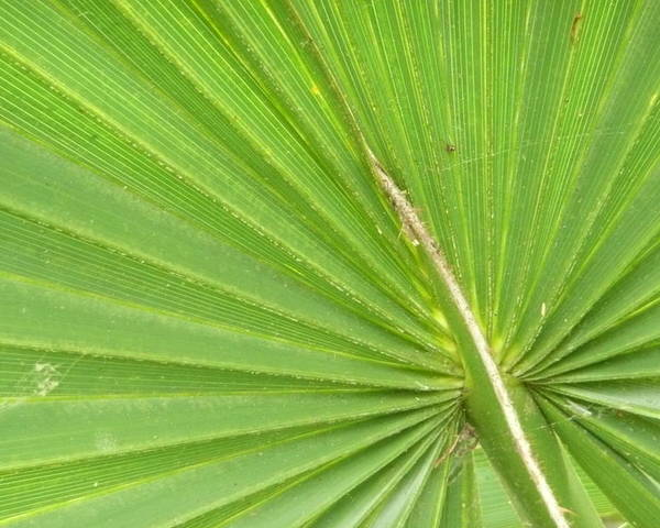 Palmetto Poster featuring the photograph Palmetto II by Kathy Schumann