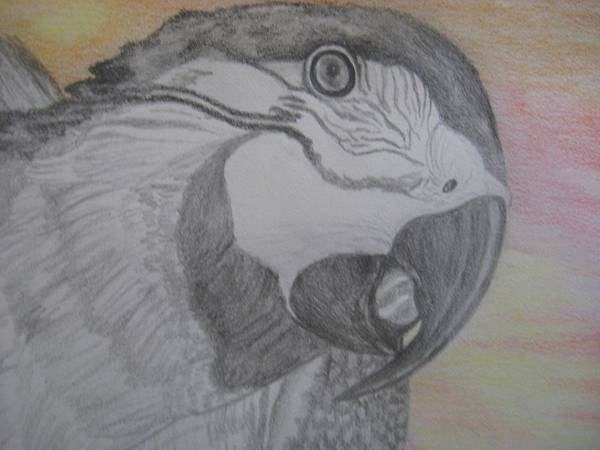 Parrot Poster featuring the drawing Parrot by Theodora Dimitrijevic
