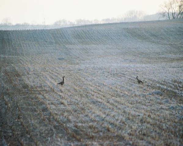 Geese Poster featuring the photograph Passing Through by Jennifer Trone