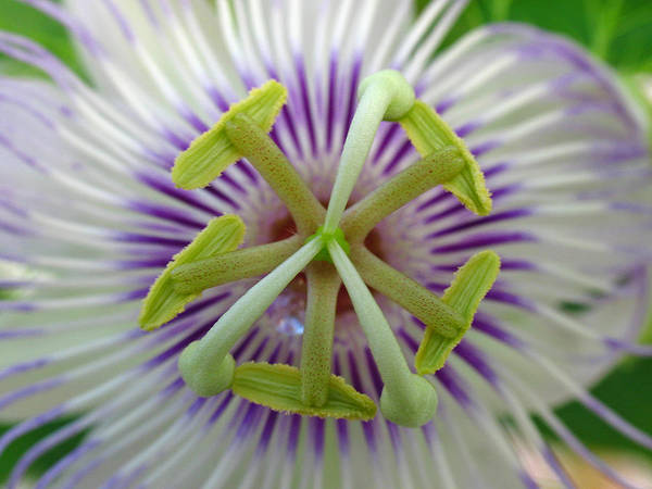 Flower Poster featuring the photograph Passion Flower by Juergen Roth