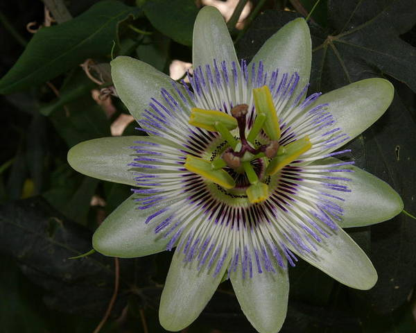 Garden Poster featuring the photograph Passion Flower by Veron Miller