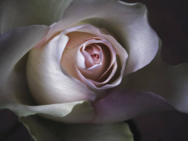 All Poster featuring the photograph Pastel Flower Rose Closeup Image by Artecco Fine Art Photography