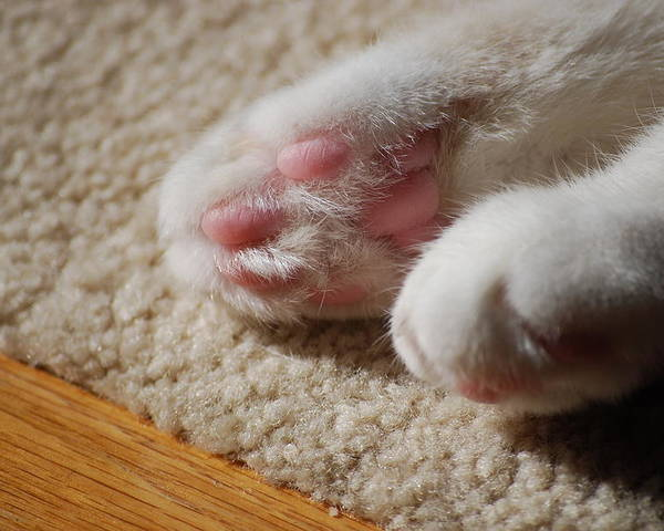 Cat Poster featuring the photograph Paws by Peter McIntosh
