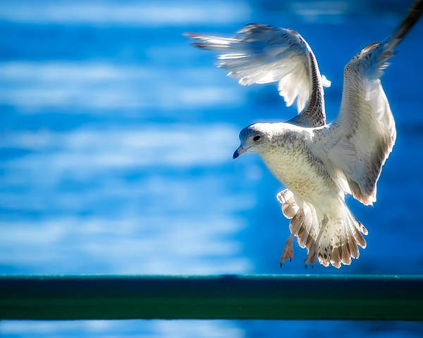 Animal Poster featuring the photograph Peace Gull by Rich Leighton