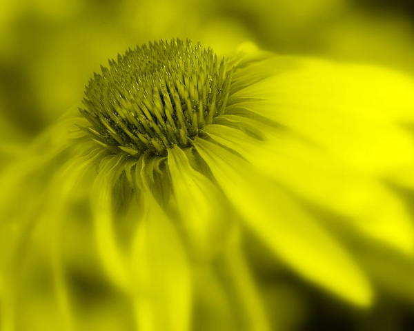Digital Art Flower Coneflower Glowe Yellow Tinted Macro Petals Wildflower Poster featuring the photograph Peaceful Glow by Edward Loesch