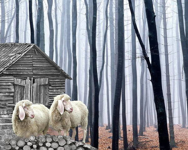Sheep Poster featuring the photograph Peacefully by Manfred Lutzius