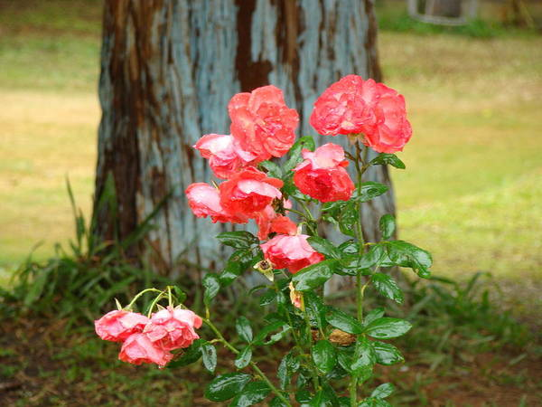 Wild Roses Poster featuring the photograph Peach Roses by Reshmi Shankar
