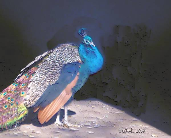 Bird Poster featuring the painting Peacock by Chuck Kugler