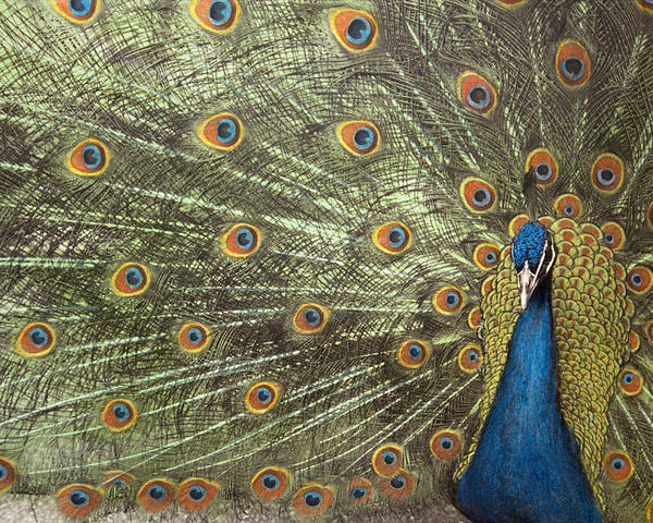 Peacock Poster featuring the photograph Peacock by Michael Hudson