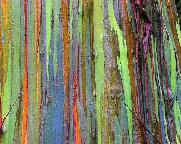 St Lucia Poster featuring the photograph Peeling Bark- St Lucia. by Chester Williams