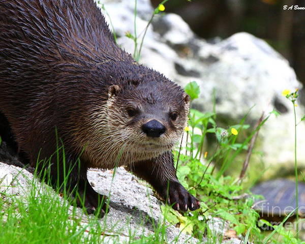 Otter Poster featuring the photograph Peering Otter by Barbara Bowen