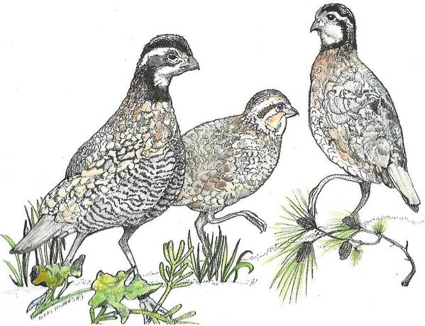 Quail Poster featuring the drawing Pelham Quail by Terri Kilpatrick