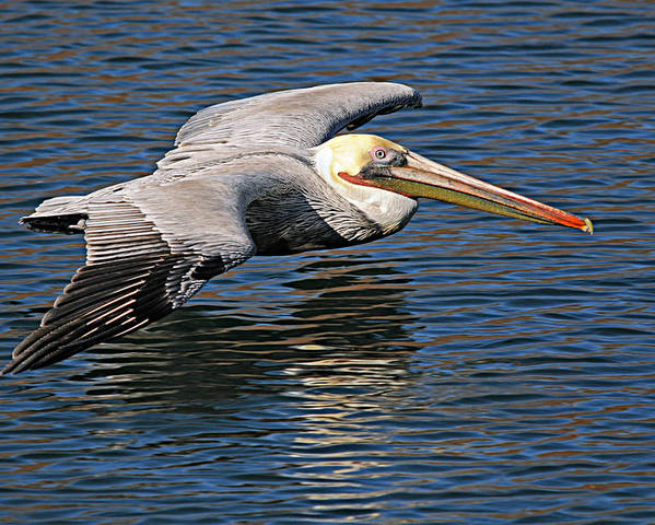 Pelican Poster featuring the photograph Pelican by Diana Douglass