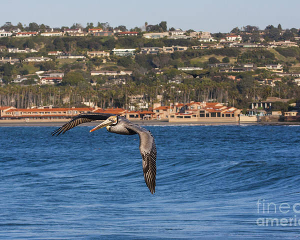 Pelican Poster featuring the photograph Pelican Flying Above The Pacific Ocean by Ruth Jolly