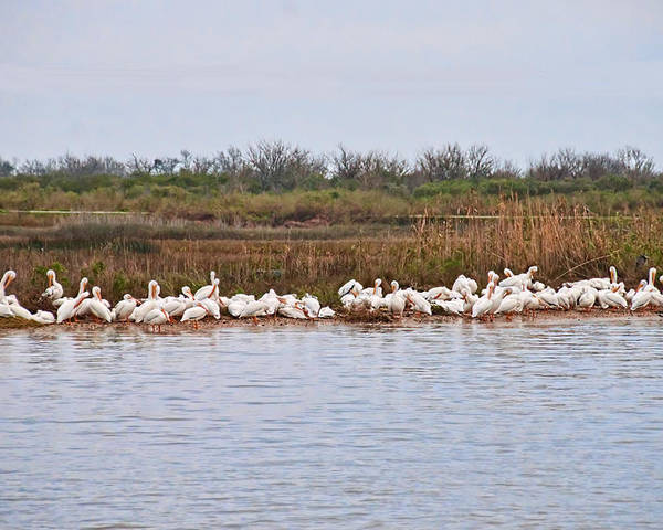 Waterfowl Poster featuring the photograph Pelican Gathering by Bill Perry
