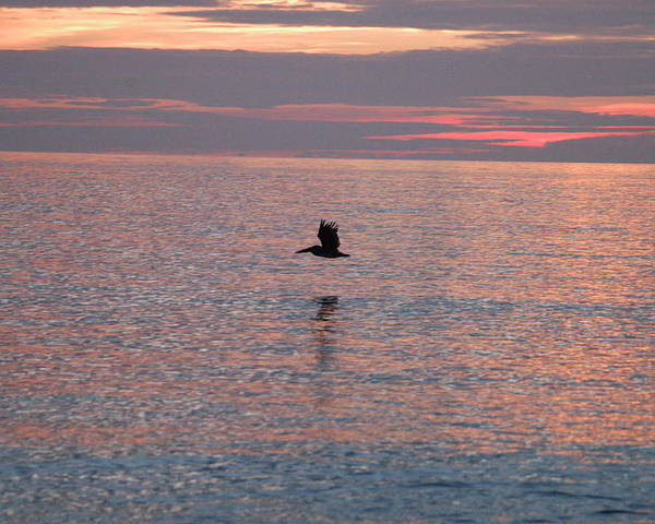 Sunrise Poster featuring the photograph Pelican In Flight At Dawn by Michael Vanatta