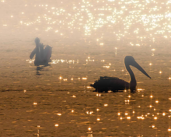 Pelican Poster featuring the photograph Pelican Sunrise by Mike Dawson