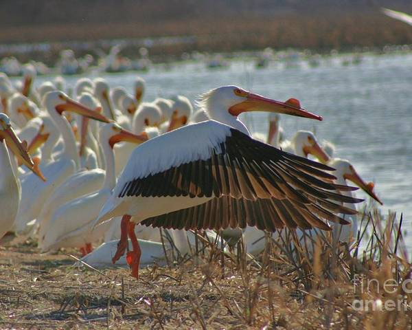 Pelicans Poster featuring the photograph Pelicans Early by Shari Morehead
