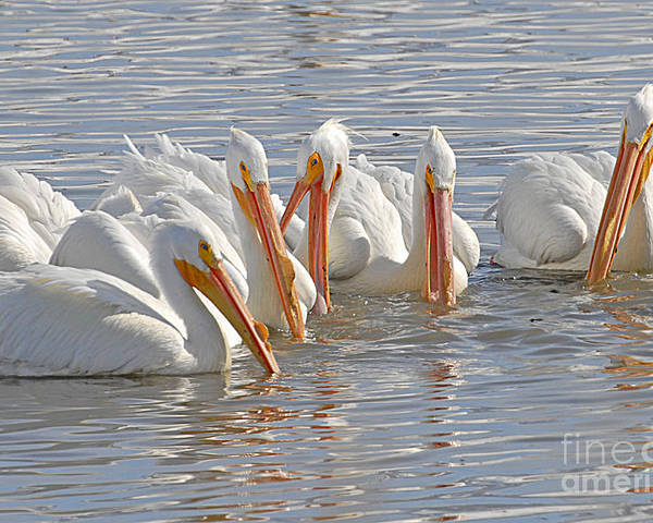 Bird Poster featuring the photograph Pelicans On The Prowl by Dennis Hammer