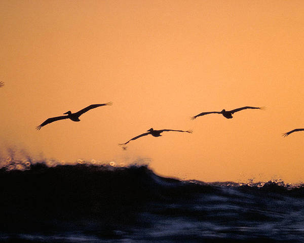 Pelicans Poster featuring the photograph Pelicans Over The Pacific by Michael Mogensen