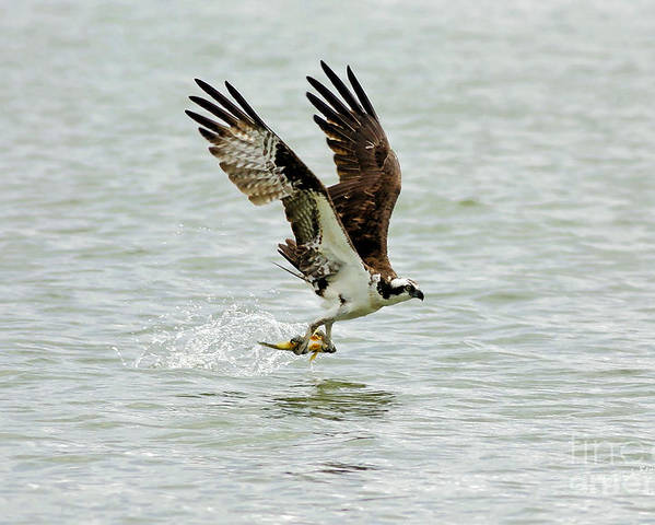 Osprey Poster featuring the photograph Perch On The Run by Deborah Benoit